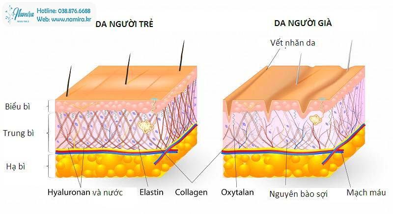 Tác-dụng-BFGF-với-cấu-trúc-da